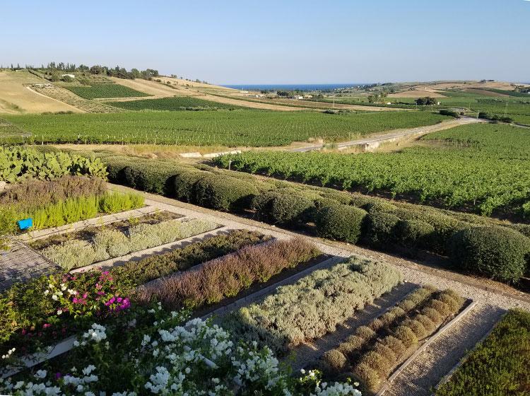 vineyards in Sicily